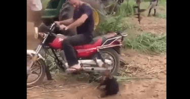 bébé chimpanzé qui veut monter sur la moto