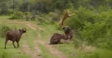 buffle défend son congenere dun lion buffle défend son congénère d'un lion