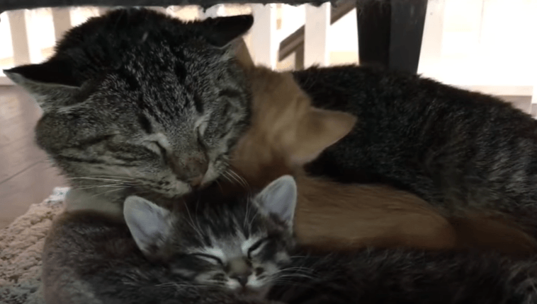 Chat bagarreur et agressif attendri par deux chatons