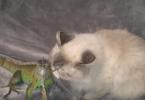 Chat qui câline un iguane vert