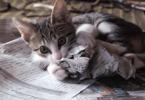 Chaton qui attaque le journal