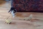 chaton qui découvre deux lézards