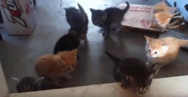 Chatons qui font leurs premiers pas avec leur mère