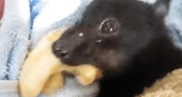 chauve-souris qui mange une banane
