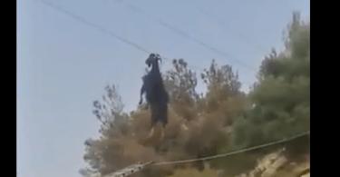 Chèvre accrochée à un câble par les cornes