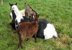 Chèvres qui s'amusent à grimper sur le dos d'un cheval