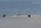 Chien qui attaque un requin