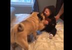 Deux carlins jouent avec un bébé