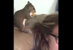 écureuil qui cache de la nourriture dans les cheveux de sa maitresse