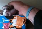 Furet femelle tire la main de son maître pour qu'il voit ses bébés