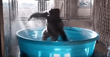 gorille heureux danse sur maniac dans son bain