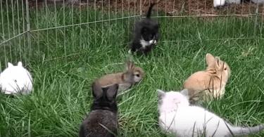 lapereaux et chatons qui jouent ensemble