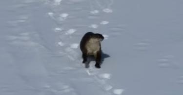 Loutre qui fait de la luge sur la neige