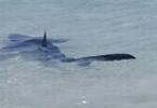 Requin bleu qui nage parmi les baigneurs de majorque