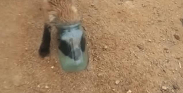 tête de renardeau coincée dans un bocal en verre