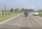 Rhinocéros qui charge les voitures sur la route