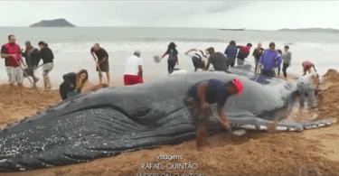 baleine à bosse échouée sur la plage.mp4