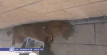 chien pitbull sauvé de la mort dans une voiture en plein soleil