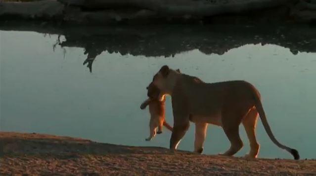Lionne qui éduque son petit au bord de l'eau