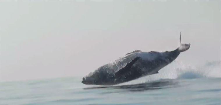 baleine de 40 tonnes saute au dessus de l'eau