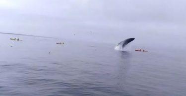 baleine qui écrase de plein fouet des kayakistes