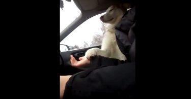 Ce chien a peur en voiture et le fait savoir à son maître