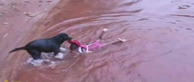 Chien qui sauve un petit garçon de la noyade