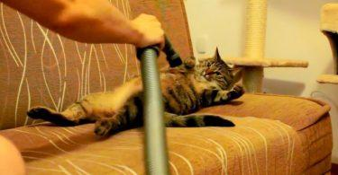chat qui adore se faire caresser par 'aspirateur
