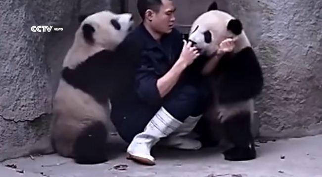 Des pandas qui ne veulent pas prendre leur médicament