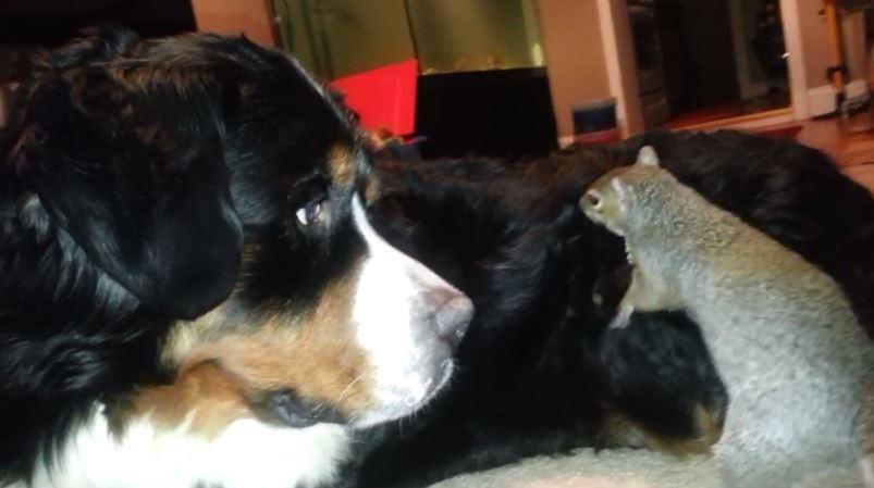 ecureuil cache sa noisette dans la fourrure dun chien