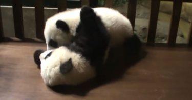 panda joue avec son frère