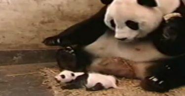 panda qui panique suite à l'éternuement de son petit