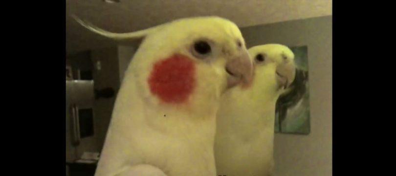 perroquet chante famille adams