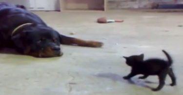 petit chaton qui ne recule pas devant un rottweiler