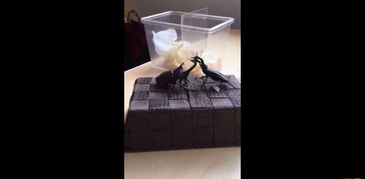 scarabées en pleine bagarre