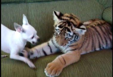 Un bébé tigre et un chiot jouent dans le salon