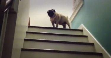 un carlin prend les escaliers en sautillant
