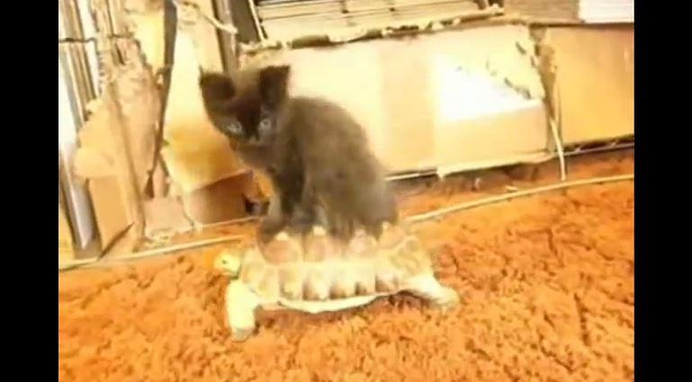 Chat qui adore être porté sur le dos dun tortue