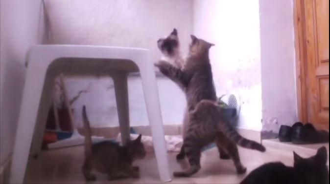 Un chat défend farouchement son petit