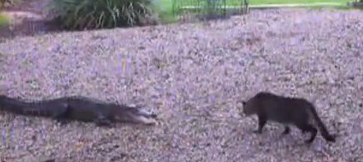Un chat tient tête à un alligator
