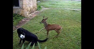 Chien et gazelle amis pour la vie