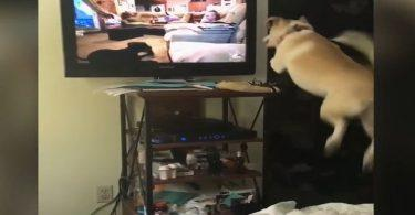 Un chien qui voudrait bien participer à une émission tv