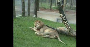 Un lion voir la lumière du jour pour la 1ère fois en 13 ans