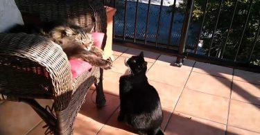 Chat allergique à un autre chat